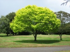 Bright_green_tree_-_Waikato-300x225[1]